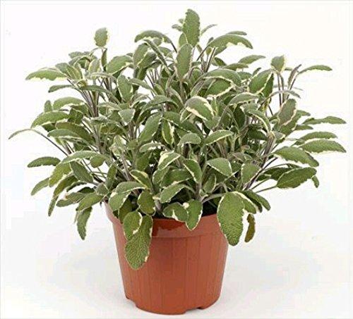 Salvia Planta Natural Pequeña Con Maceta - Planta Aromática y Culinaria